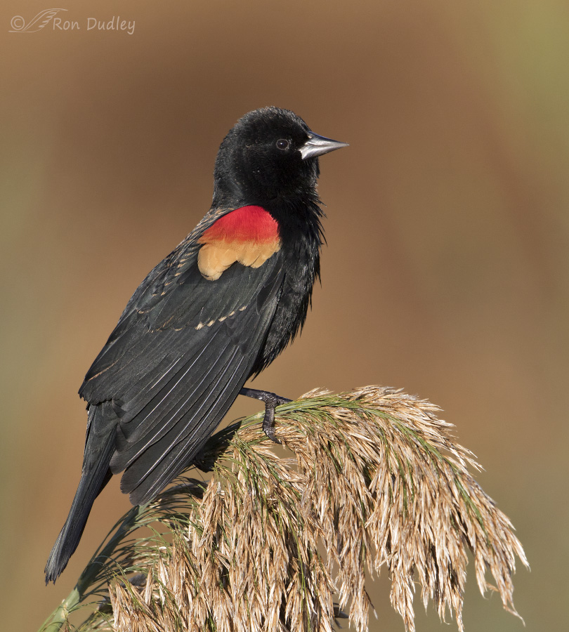 red-winged blackbird 9355 ron dudley