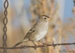 white-crowned sparrow 7101b ron dudley