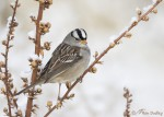 white-crowned sparrow 5981 ron dudley