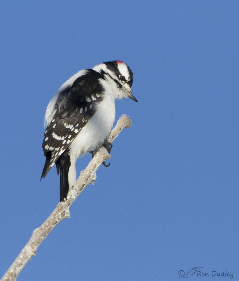 downy woodpecker 6810 ron dudley