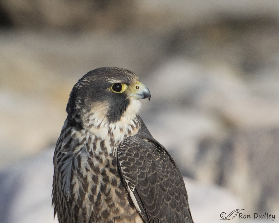 an analysis of the peregrine falcon bird falconiformes Falconiformes : family: a group of animals within an order the peregrine falcon is the most common bird of prey in the world and is found on every continent.