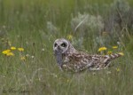 short-eared owl 7648 ron dudley