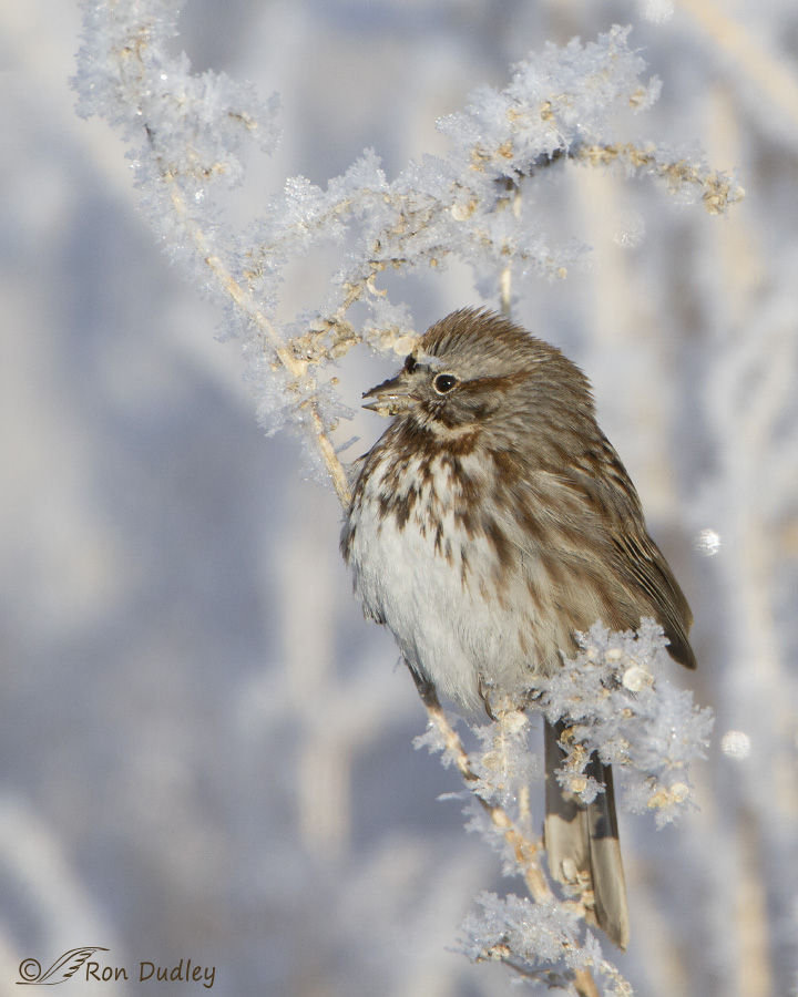 song sparrow 2113 ron dudley