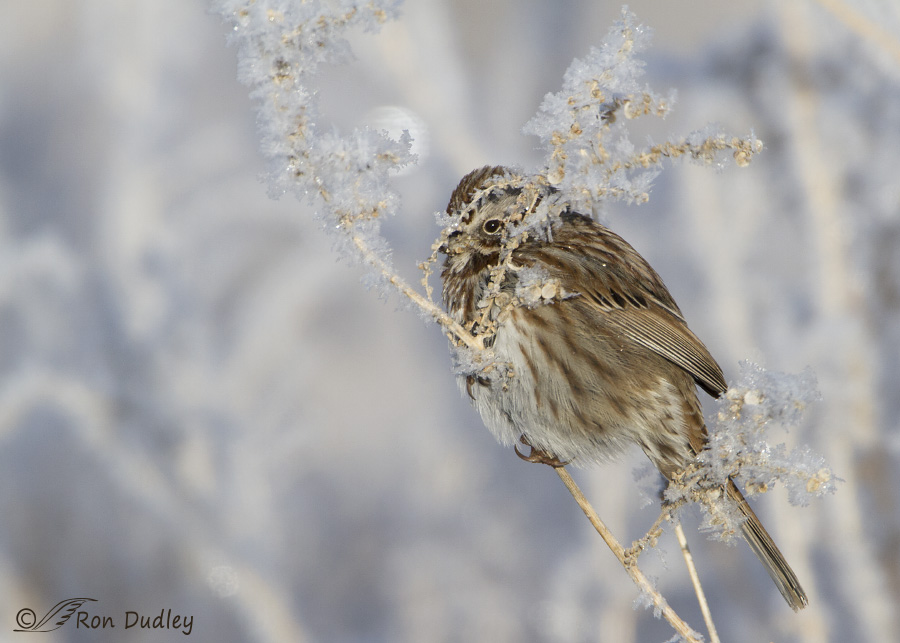 song sparrow 2129 ron dudley