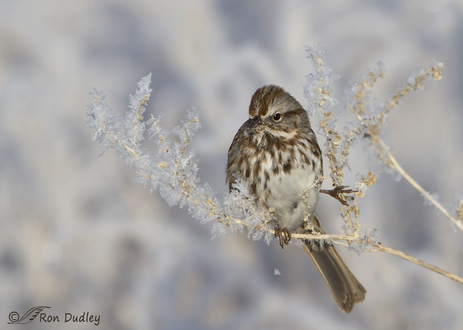 song sparrow 2150 ron dudley