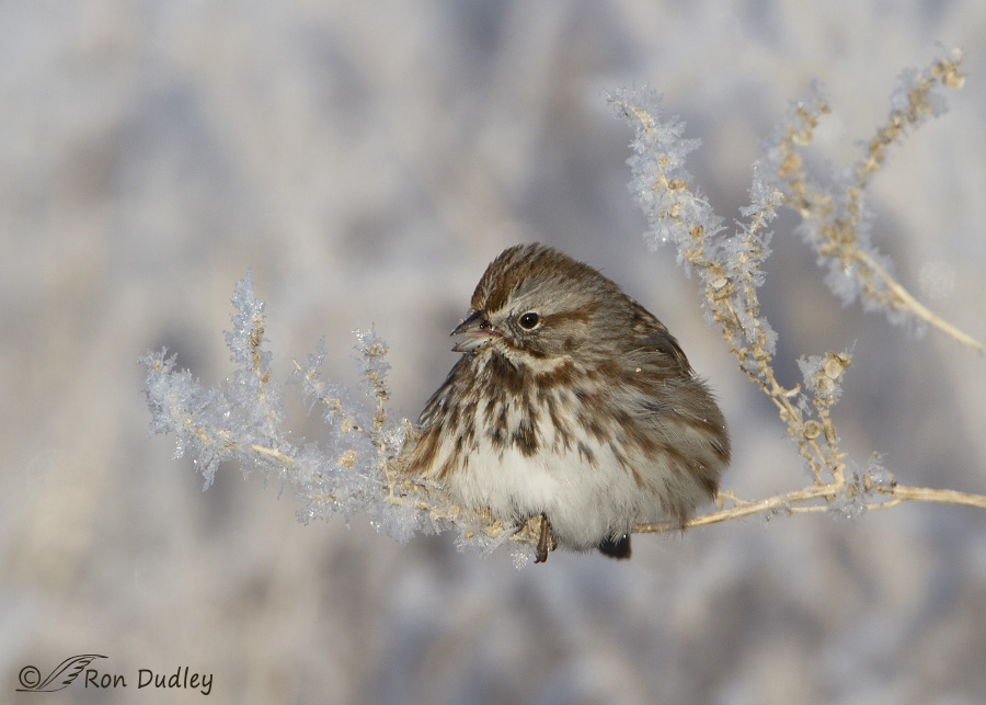 song sparrow 2201 ron dudley