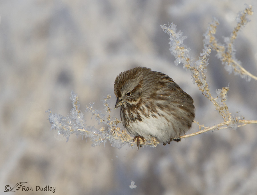 song sparrow 2246 ron dudley
