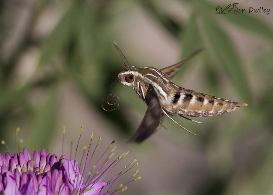 white-lined sphinx moth 0862 ron dudley