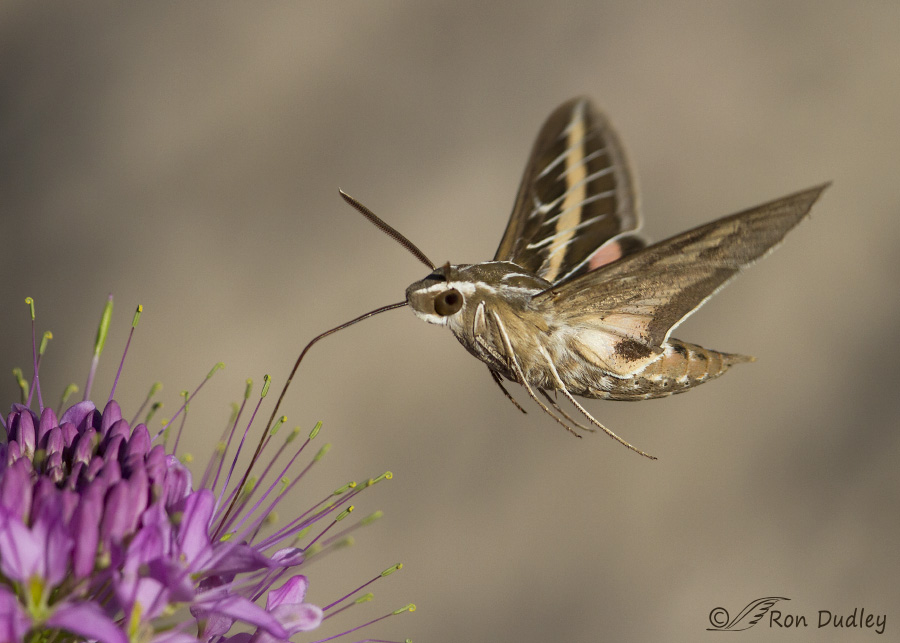 White lined sphinx moth - photo#7