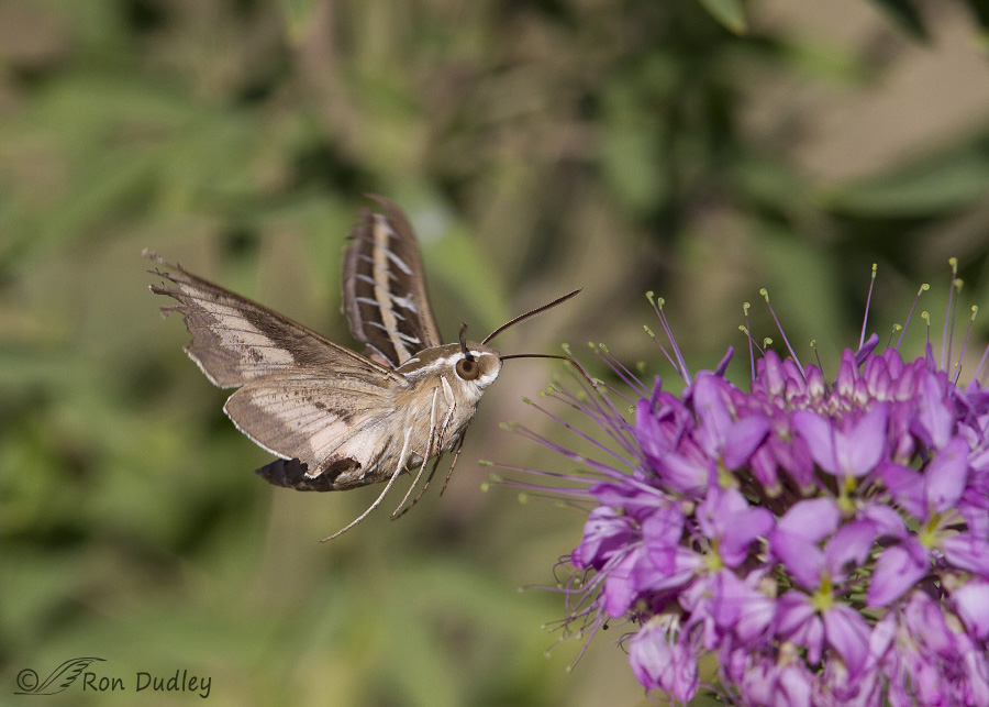 white-lined sphinx moth 9777 ron dudley