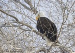 bald eagle 9569 ron dudley
