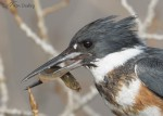 belted kingfisher 2814 ron dudley