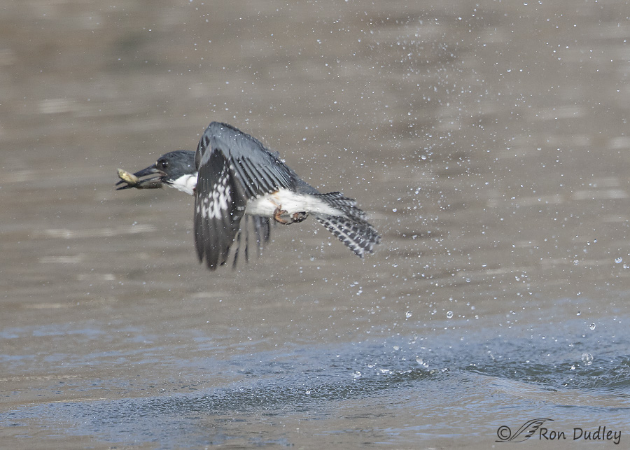 Belted Kingfisher Eggs