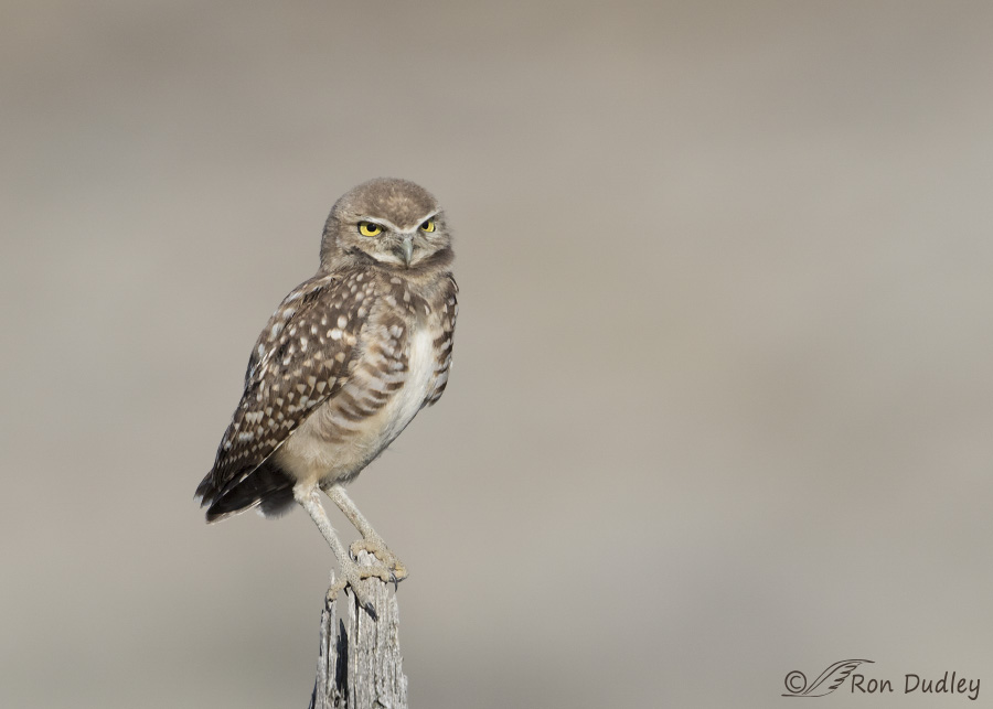 burrowing owl 7414 ron dudley