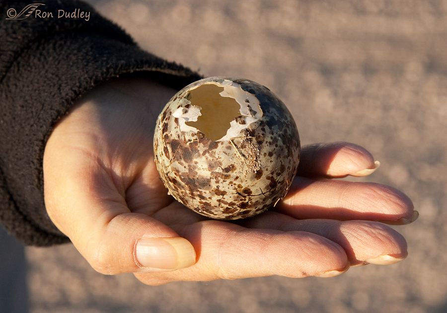 long billed curlew egg 8198 (2)