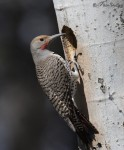 northern flicker 7456 ron dudley