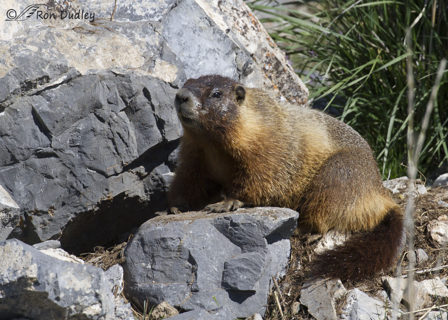 yellow-bellied marmot 0678 ron dudley