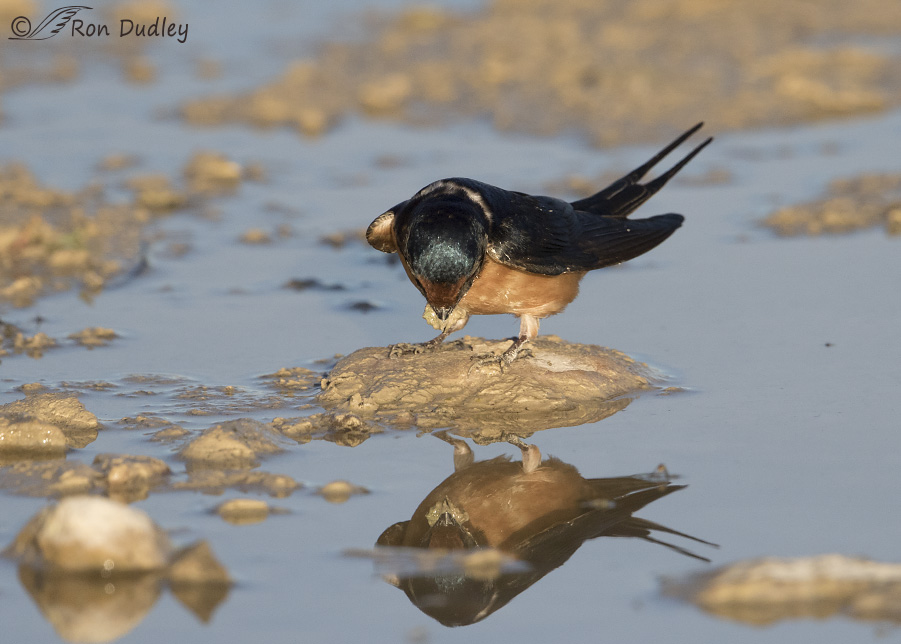 barn swallow 0847 ron dudley