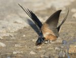 barn swallow 0870 ron dudley