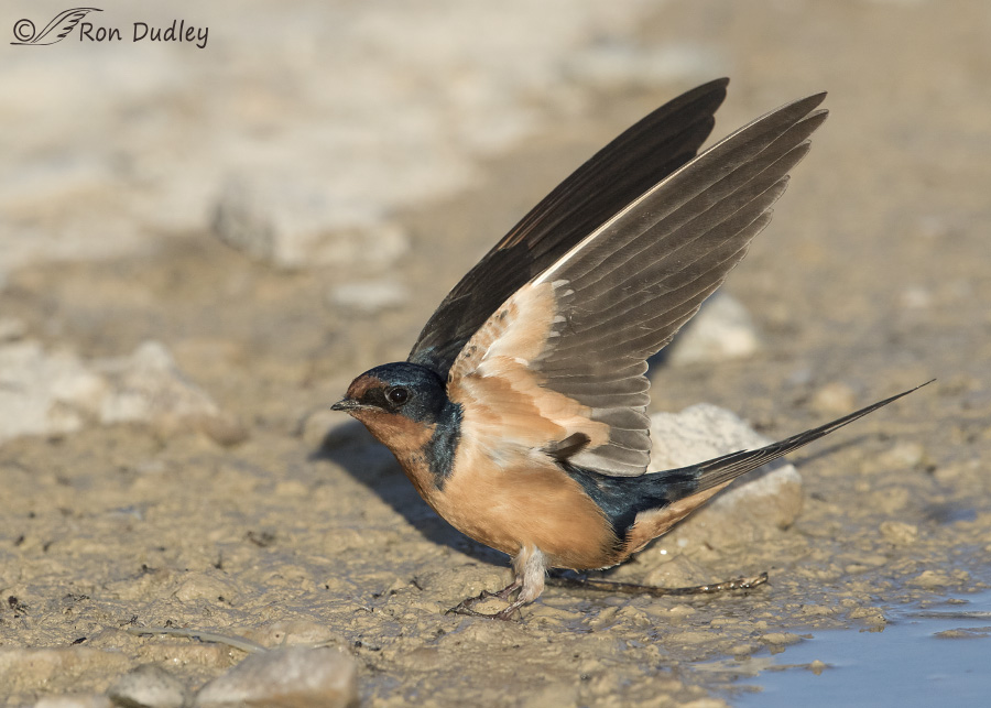 barn swallow 0903 ron dudley