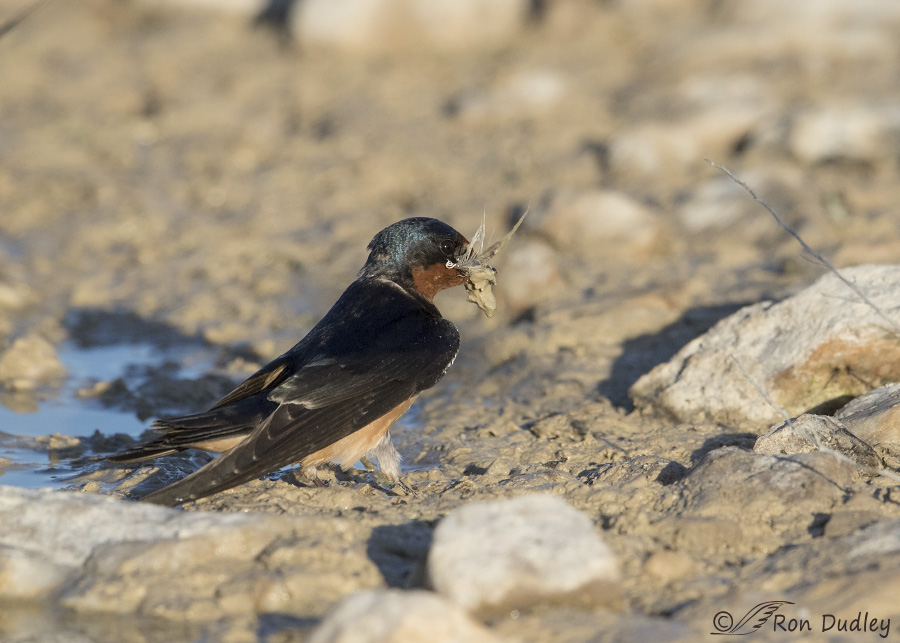 barn swallow 0930 ron dudley