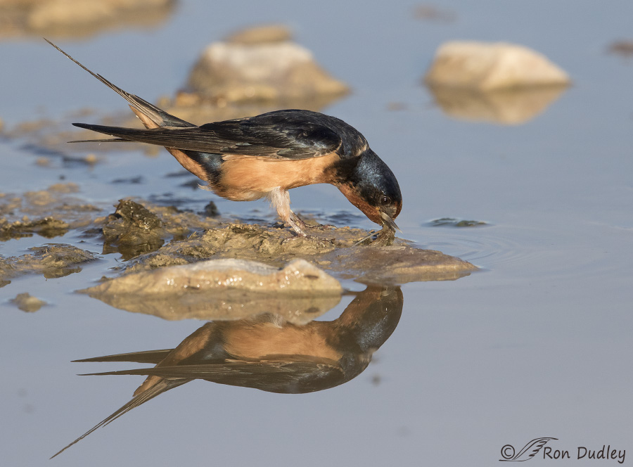 barn swallow 1067 ron dudley