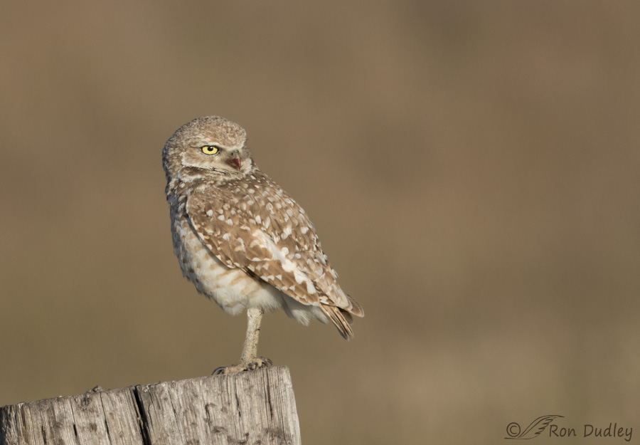 burrowing owl 4308 ron dudley