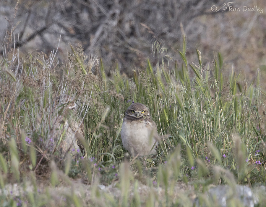 burrowing owl 4555 ron dudley