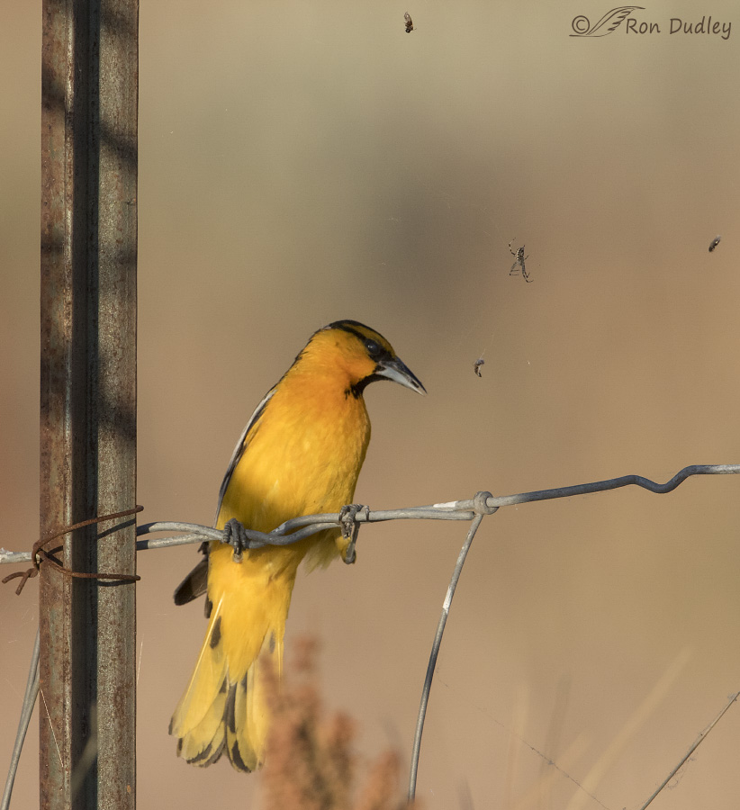 Bullocks Oriole Stealing Food From An Unhappy Spider Feathered