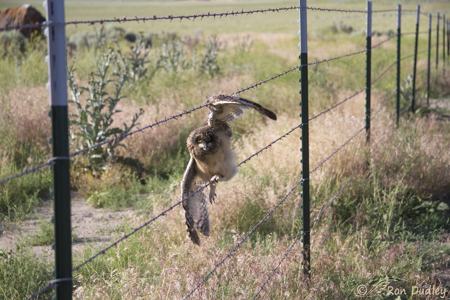Another Nasty Encounter Between An Owl And A Barbed Wire Fence ...