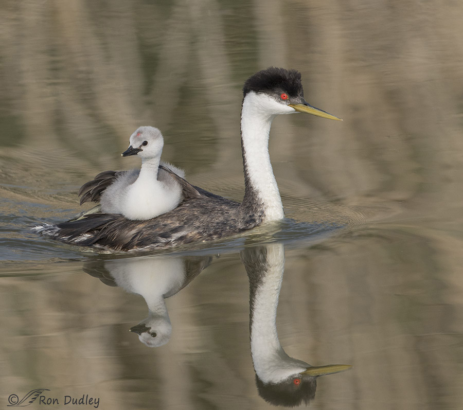 western grebe 1704 not rotated ron dudley