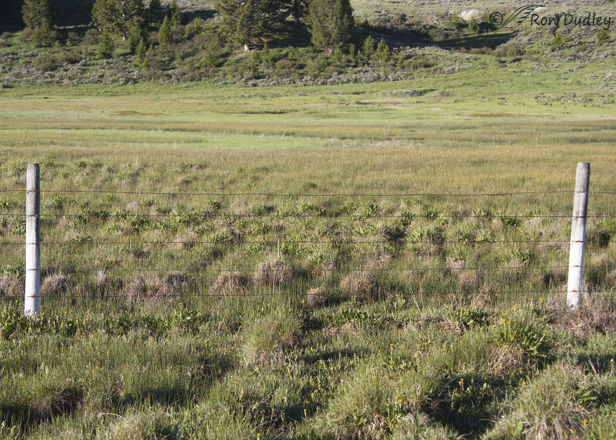 A Pronghorn Fawn And A Near-disaster With Barbed Wire « Feathered ...