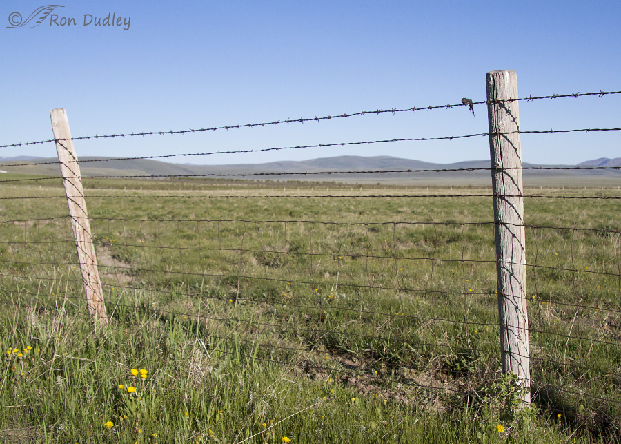 A pronghorn fawn and near disaster with barbed wire
