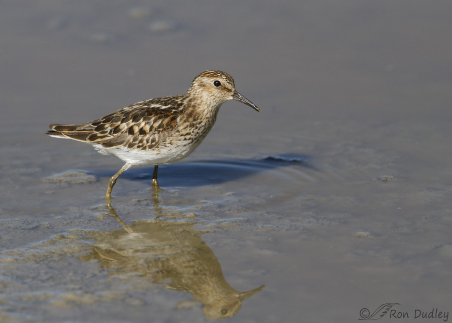 least sandpiper 7834 ron dudley