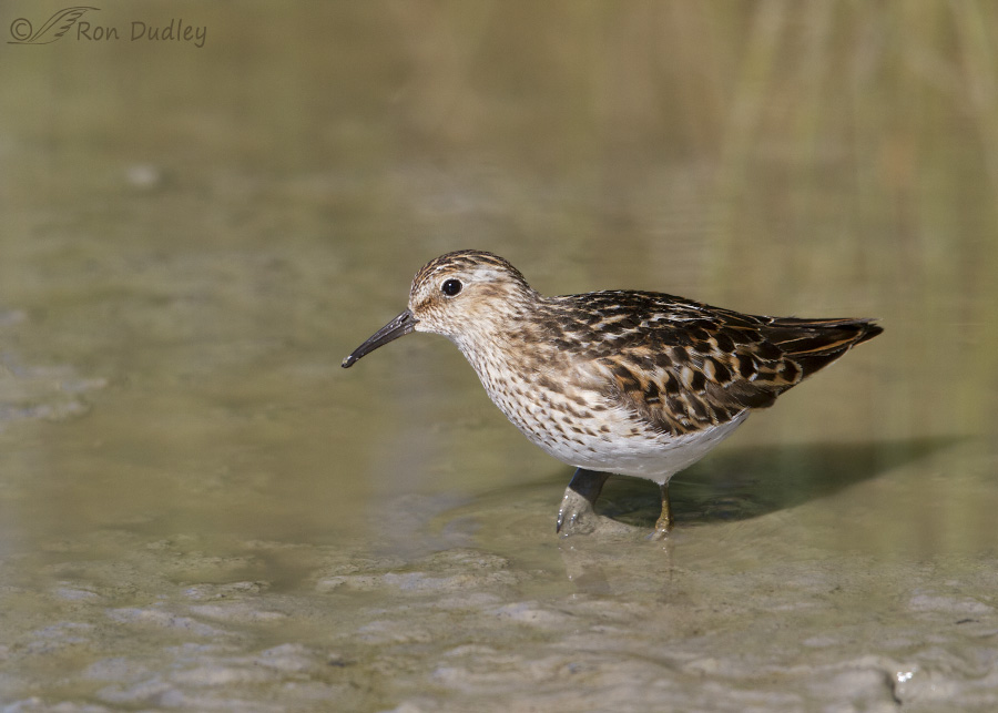 least sandpiper 7853 ron dudley