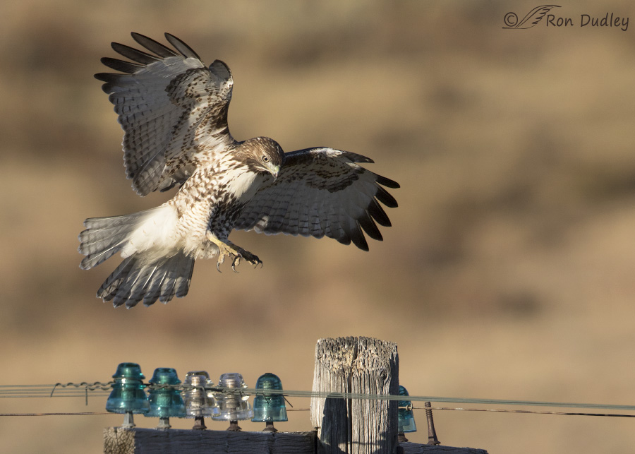 red-tailed-hawk-3499-ron-dudley