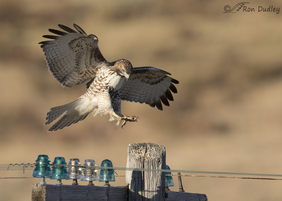 red-tailed-hawk-3500-ron-dudley