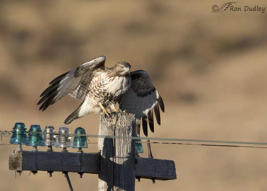 red-tailed-hawk-3504-ron-dudley
