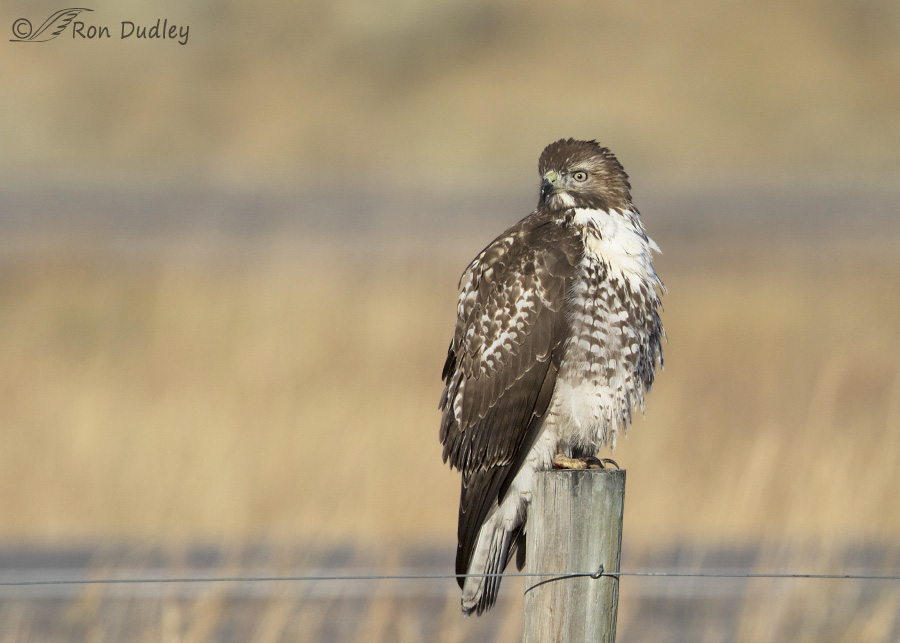 red-tailed-hawk-3786b-ron-dudley