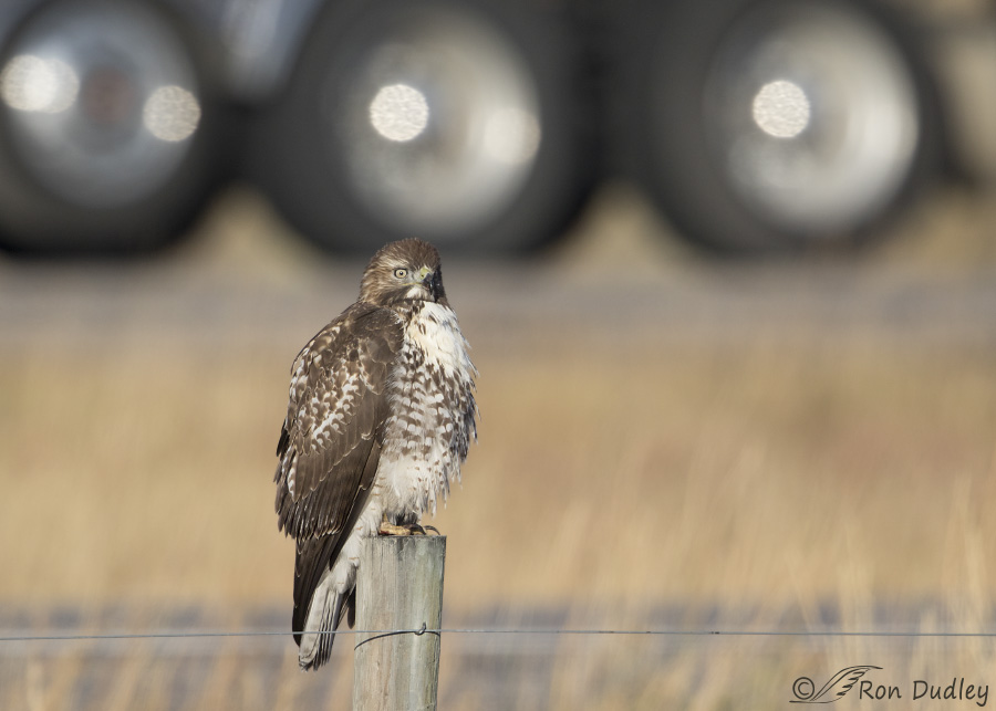 red-tailed-hawk-3793-ron-dudley