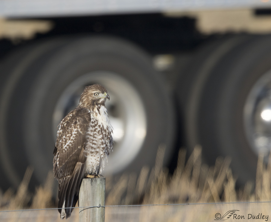 red-tailed-hawk-3812-ron-dudley