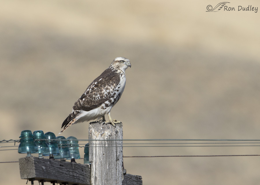 red-tailed-hawk-8149-ron-dudley