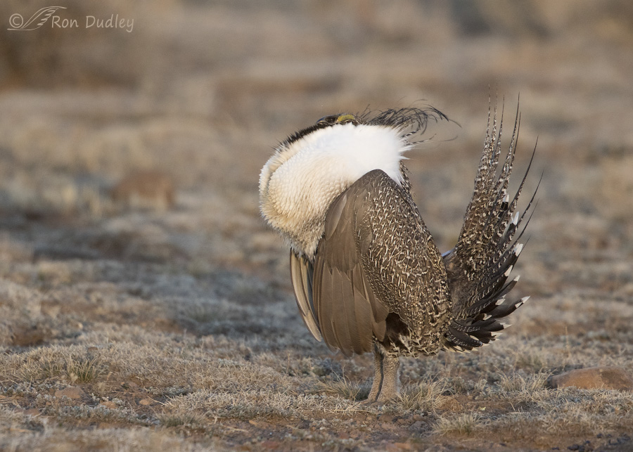 sage-grouse-3820-ron-dudley