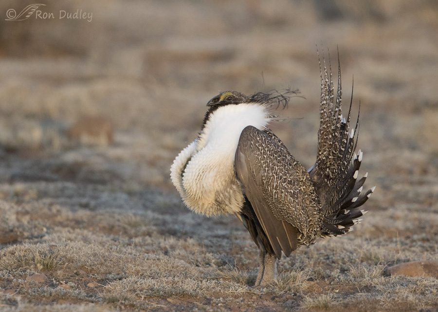 sage-grouse-3823-ron-dudley