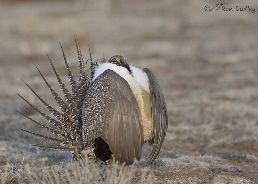 sage-grouse-3861-ron-dudley
