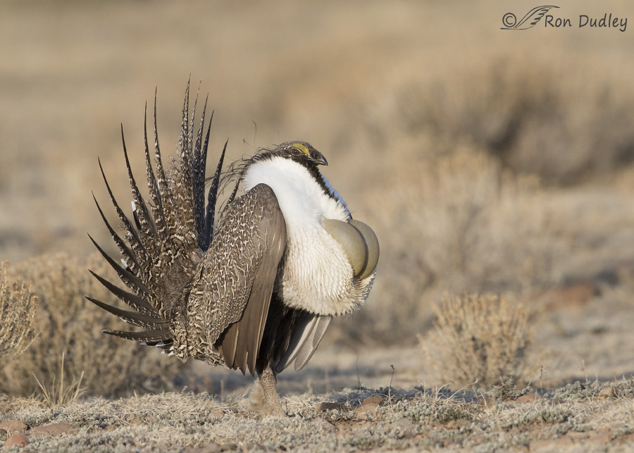 sage-grouse-4385-ron-dudley