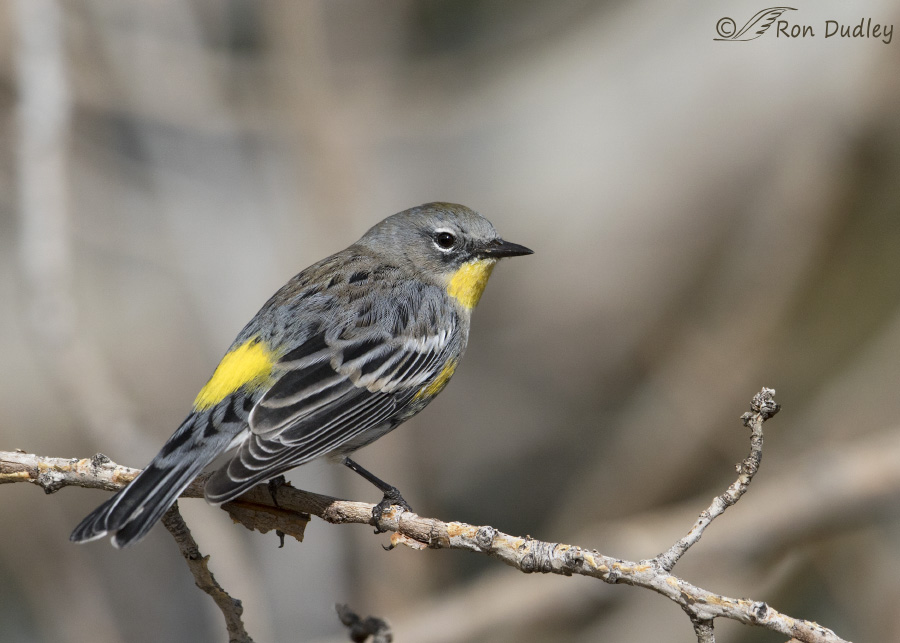 yellow-rumped-warbler-5336-ron-dudley