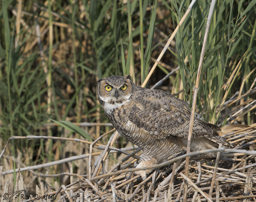 great-horned-owl-0453-ron-dudley