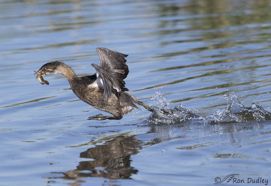 pied-billed-grebe-9898-ron-dudley