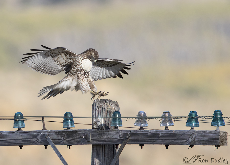 red-tailed-hawk-4226b-ron-dudley